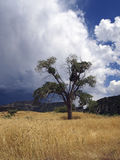 Cottonwood with Storm Stock Images