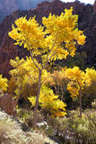 Cottonwood Tree. In Grand Canyon royalty free stock photos