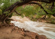 A cottonwood tree arches over the rushing water of the Virgin river in Zion national park Utah.  stock photos