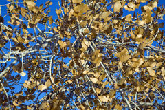 Cottonwood tree canopy. Against blue sky in winter Royalty Free Stock Photos