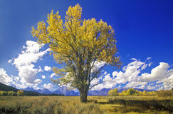 Cottonwood tree in fall colors, Grand Teton National Park, Jackson, WY Royalty Free Stock Photography