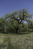 Cottonwood Tree in Field. Under blue sky surrounded by grassland royalty free stock images