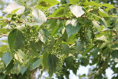 Cottonwood tree. Fresh green leaves poplar tree Royalty Free Stock Images