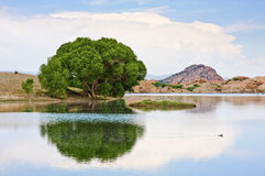 Cottonwood Tree and Lake. An old cottonwood tree at the edge of Watson Lake in Prescott, Arizona royalty free stock photography