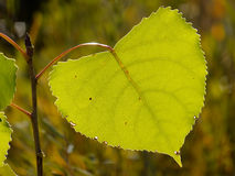 Cottonwood tree leaf Stock Photos