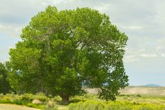 Cottonwood Tree Populus section Aigeiros. Summer Scene royalty free stock image