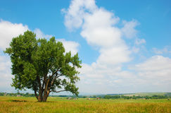 Cottonwood Tree in a Rural Field. Cottonwood tree stands in a pasture in a rural area stock image
