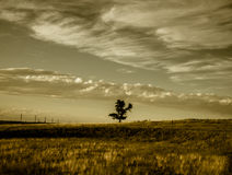 Cottonwood Tree Sepia Clouds in the Sky. A lonely cottonwood trees on a barren prairie with wispy clouds. A sepia color tone to the image. Tall power poles in royalty free stock photography