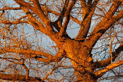 Cottonwood Tree at Sunrise. Golden light from the sunrise makes this old cottonwood tree glow orange from the light royalty free stock images
