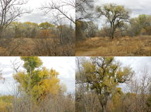 Cottonwood Trees Stock Photos