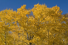Cottonwood trees in the Fall Stock Photo