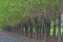 Cottonwood trees Royalty Free Stock Images