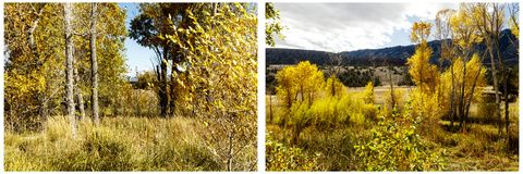 Cottonwood trees willow aspen autumn color collage. Golden yellow gold leaves cottonwood willow aspen trees fall scene scenic autumn colors environmental natural Royalty Free Stock Images