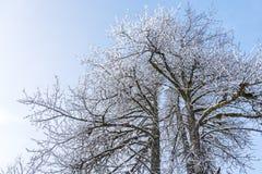 Cottonwood trees in winter stock photos