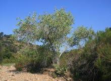 Cottonwood w Gonzalez jarze Zdjęcia Stock