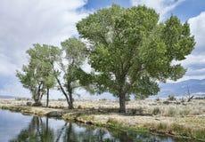 Cottonwoodbomen in Sumer stock foto's