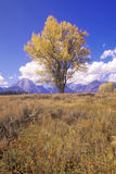 Cottonwoodboom in het Nationale Park van Grand Teton, Jackson, Wyoming Stock Foto's