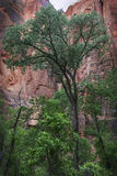 Cottonwoodboom in Zion National Park Stock Afbeelding