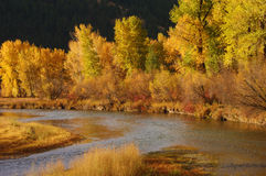 Cottonwoods on the Clark Fork Stock Photo
