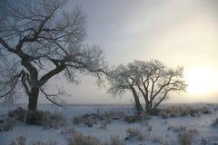 Cottonwoods congelati Immagini Stock