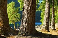 Cottonwoods i Douglas jodły przy Półksiężyc jeziorem, Olimpijski park narodowy, Waszyngton obraz royalty free
