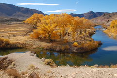 Cottonwoods in Nevada. Golden, cottonwood trees in Nevada by river in the fall with mountains in background Royalty Free Stock Images