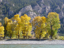 Cottonwoods, Yellowstone River, Montana. A line of brightly colored cottonwood trees lines the Yellowstone River in Western Montana Stock Image