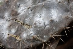 Cottony Cushion Scale. A parasite of cactus utilized as natural dye stock image