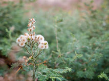 Cottony Flowers. A simple cottony flower plant, alone, standing in front of a bushy background royalty free stock photos