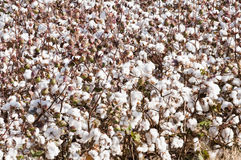 Cottton Field. A defoliated cotton field ready for harvest Royalty Free Stock Image
