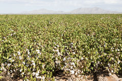 Cottton Field. A mature cotton field before defoliation and harvest Stock Photography