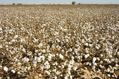 Cottton Field. A defoliated cotton field ready for harvest Royalty Free Stock Photos