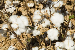Cottton Field. A defoliated cotton field ready for harvest Stock Photos