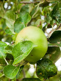 Cottura Apple BRITANNICA che cresce sull'albero nella fine del giardino su Fotografie Stock Libere da Diritti