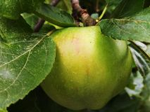 Cottura Apple di Bramley Fotografia Stock Libera da Diritti