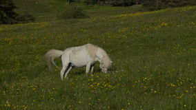 Cottura attraverso un campo dove cavallo bianco che pasce video d archivio