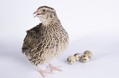 Coturnix on a white background stock image