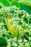 Cou Sunbird de Brown Photo stock