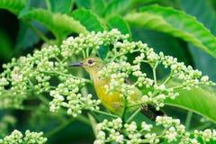 Cou Sunbird de Brown Photographie stock libre de droits