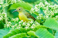 Cou Sunbird de Brown Image libre de droits