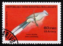Coua cristata,大约1986年 免版税库存图片