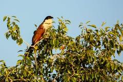 Coucal сидя в верхней части дерева Стоковые Изображения