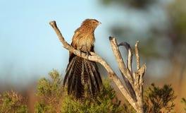 coucal фазан Стоковая Фотография