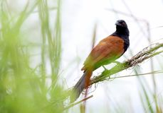 Coucal royalty free stock image