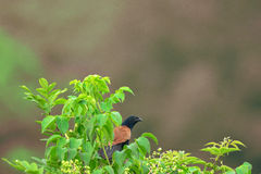 Coucal Obraz Royalty Free