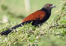 Coucal Bird stock images