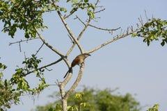 Coucal Branco-sobrancelhudo em África Imagens de Stock Royalty Free