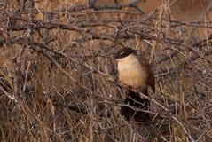 Coucal Burchell на ветви Стоковая Фотография RF