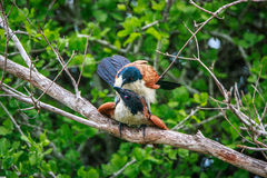 Coucal Burchell сопрягая в ветви Стоковое фото RF
