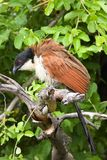 Coucal Burchell Royalty-vrije Stock Foto